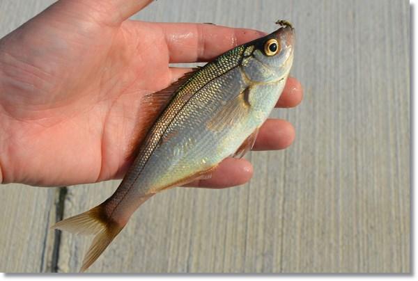 掌の上のフライで釣り上げたオキタナゴ