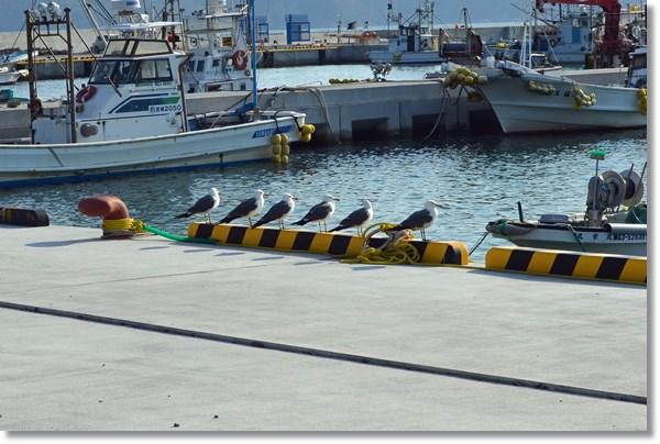 鮎川港内の岸壁に並ぶウミネコ