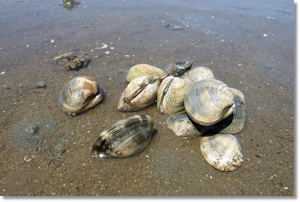 砂浜に山積みされたアサリ