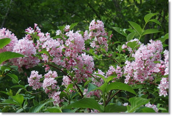 満開に咲いているタニウツギ