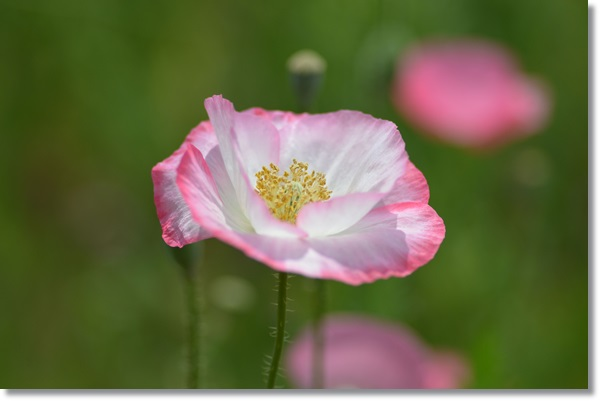 白に淵がピンク色のポピー
