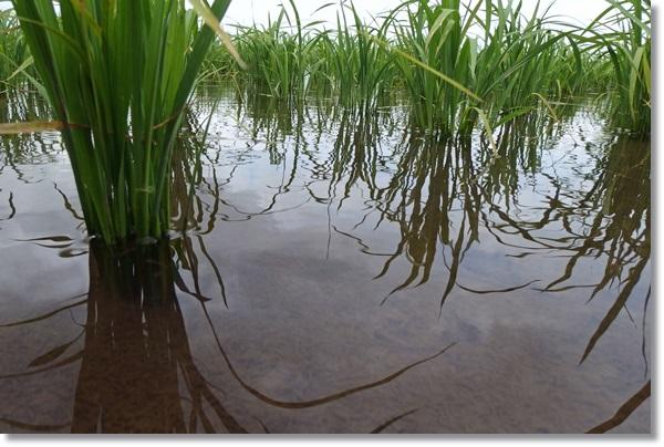 田んぼに青々と育つ水稲の苗