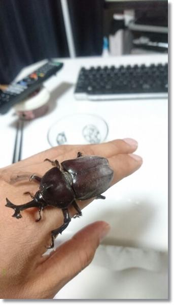 手の上にしがみつくオスカブトムシ