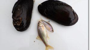 福島県で捕れたマタナゴとカワシンジュガイ