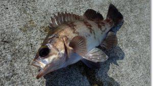 志津川湾で釣ったメバル