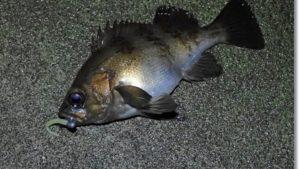 南三陸歌津で釣ったメバル