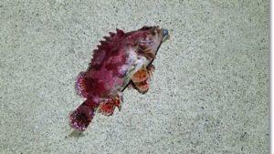 12月の牡鹿半島で釣れた真っ赤なヨロイメバル