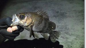 一月の十三浜で釣れたメバル